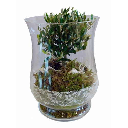 Olive plant in a glass
