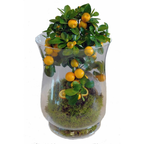 Plant Clementine in jar made of glass