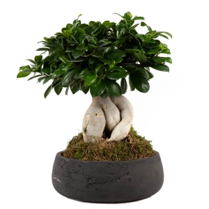 Bonsai in a rocky pot