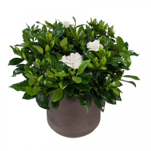 Gardenia in a pottery pot