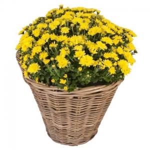 Κίτρινο φυτό χρυσάνθεμο σε καλάθι
