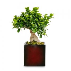 Bonsai in a fiberstone