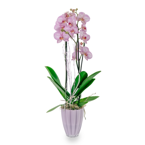 Pink orchid phalaenopsis