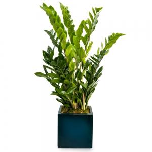 Φυτό ζάμια σε κύβο dark blue fiberstone